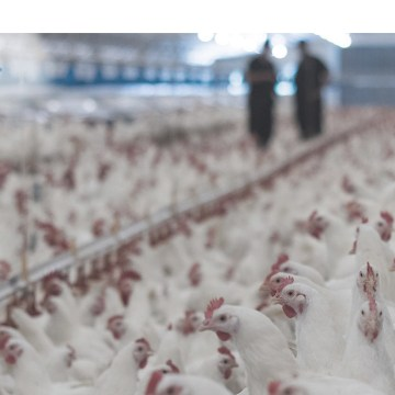 Aviagen desarrolló exitoso webinar sobre sanidad avícola