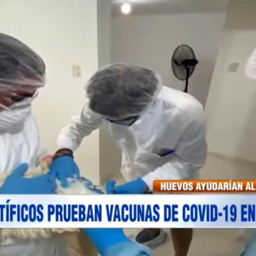 Científicos peruanos usan gallinas para producir defensas contra el COVID-19
