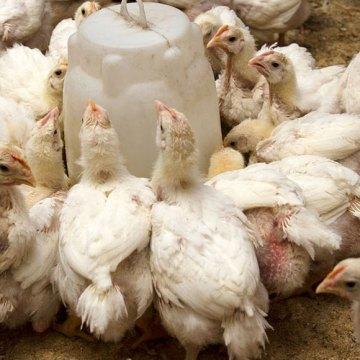 Consejo Internacional de Avicultura prevé auge en producción mundial de ave por PPA
