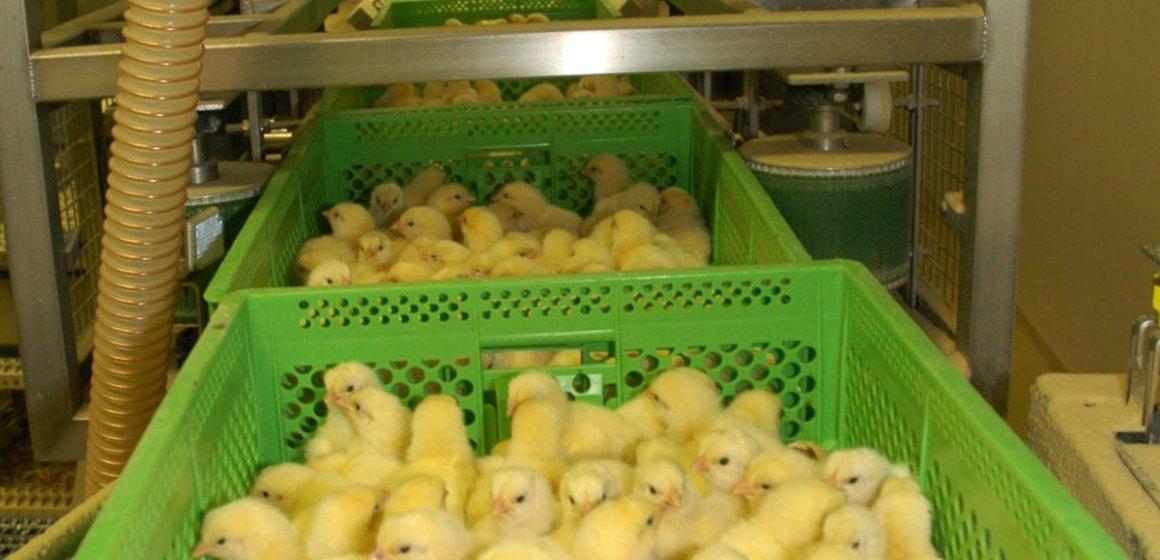 Alemania legaliza el sexaje de pollos