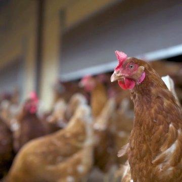 Una guía para dar a las gallinas el mejor comienzo en la vida