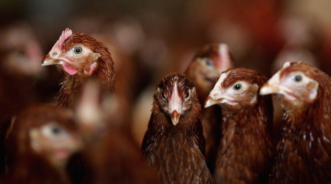 Efecto del ácido húmico en la dieta sobre la respuesta productiva y calidad de huevo de gallinas de postura