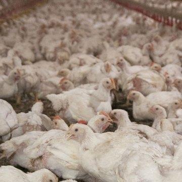 Reencontrarse con la naturaleza: Productos multifuncionales naturales para la cría de pollo de engorde