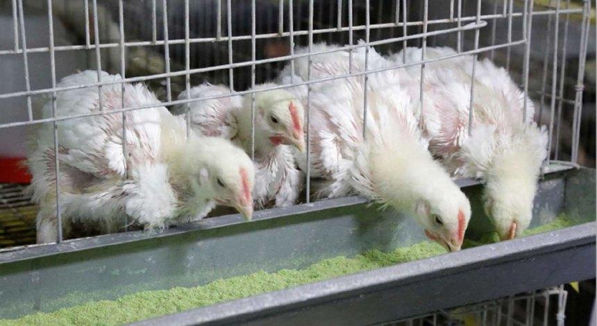 Ensayo de biodisponibilidad del fósforo en pollos de carne a los 21 días con diferentes fuentes comerciales de fosfatos inorgánicos