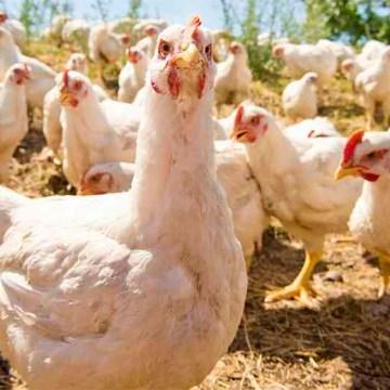 Avicultura de traspatio: principal causante de los brotes de salmonella