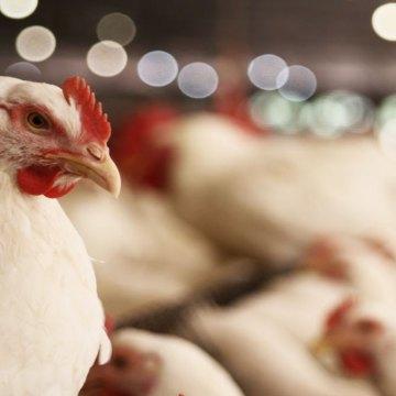 La International Poultry Council renueva compromiso con los Objetivos de Desarrollo Sustentable de la ONU