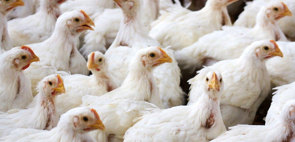 Venezuela detiene su producción avícola por los altos precios de pienso
