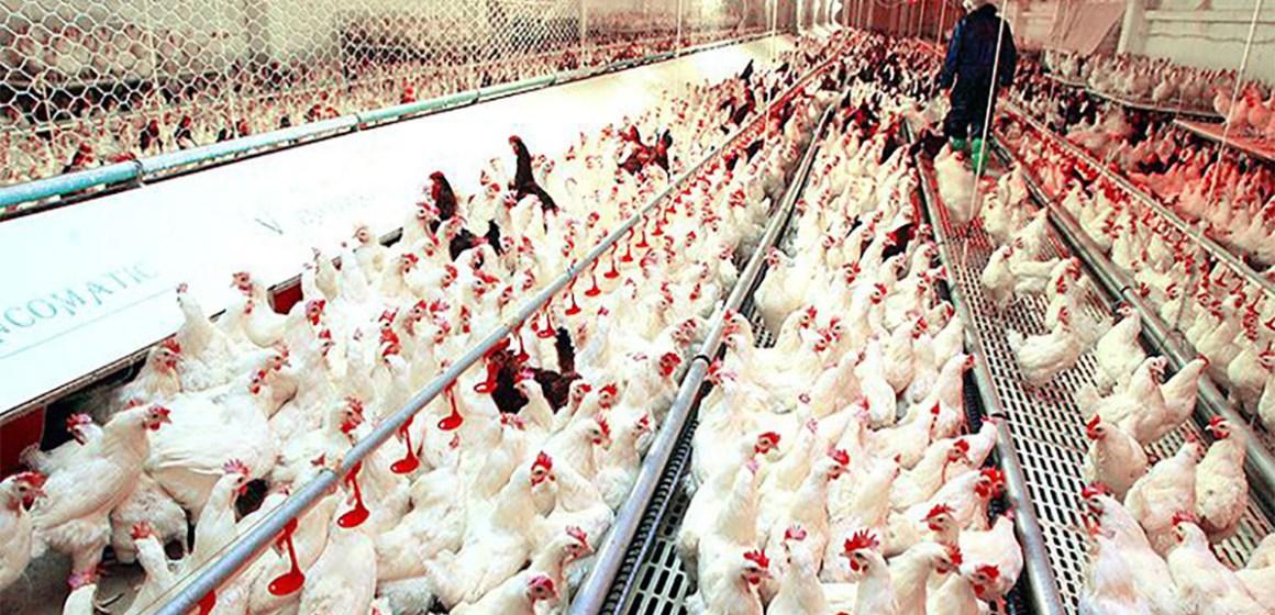 Avicultura peruana apunta a calidad y salud