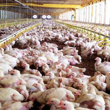 Consejo Internacional de Avicultura se une a la FAO por una producción sostenible
