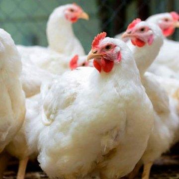 Dos focos de influenza aviar altamente patógena fueron hallados en México