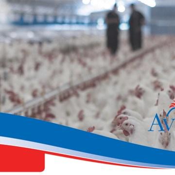 Manuales de pollo de engorde Aviagen informan sobre manejo de parvadas