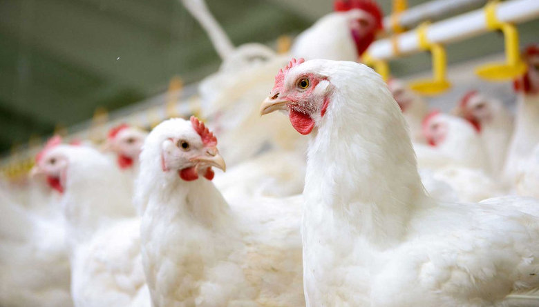 Protestas perjudican la producción avícola en Bolivia
