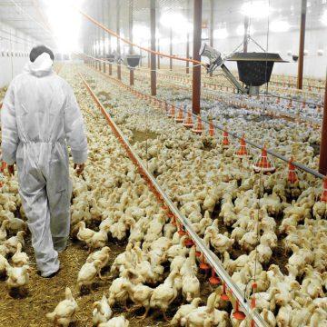 Reactivación avícola se trabaja entre Venezuela y Colombia