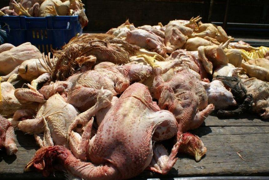 Clausuran avícolas insalubres en Independencia
