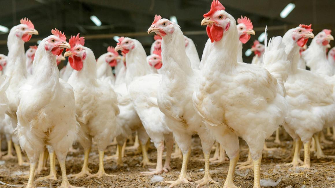 China permite importación de pollo desde EE.UU. después de 5 años