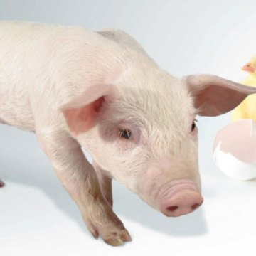 Exportaciones porcinas y avícolas brasileñas siguen creciendo