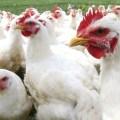 Influencia de los aditivos alimentarios en el estímulo de las células del sistema inmune de las aves