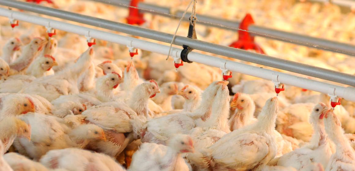 Tópicos que considerar en nutrición avícola