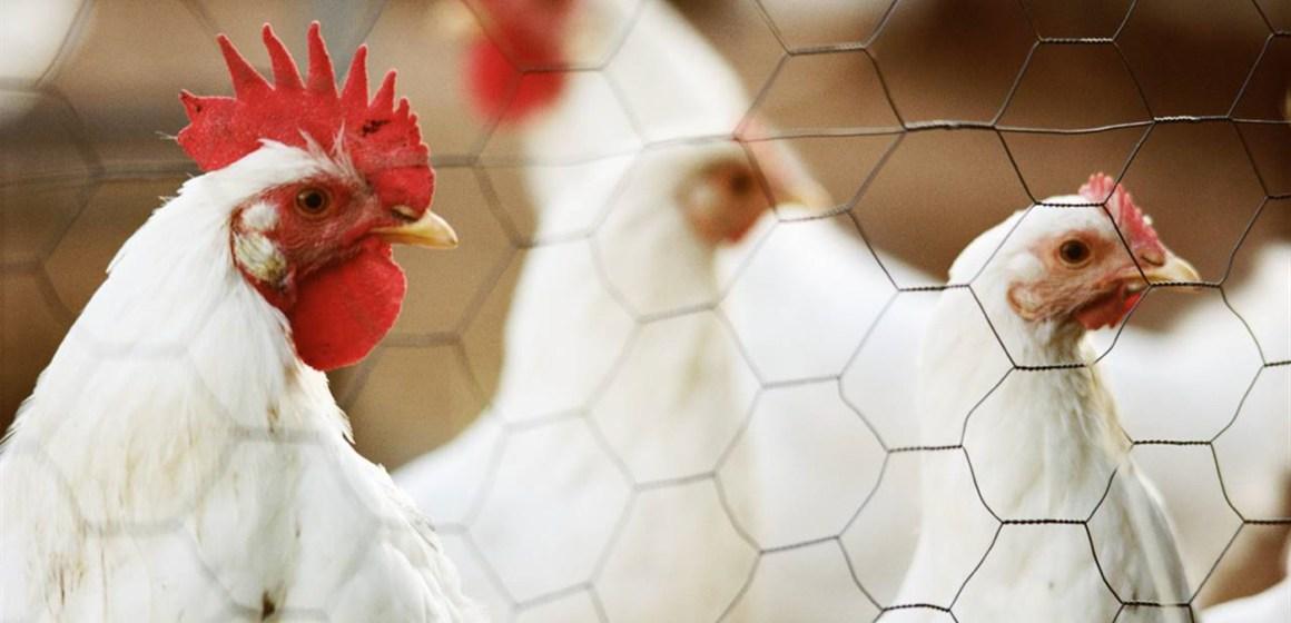 Guatemala: aumento de importación del pollo es injustificado