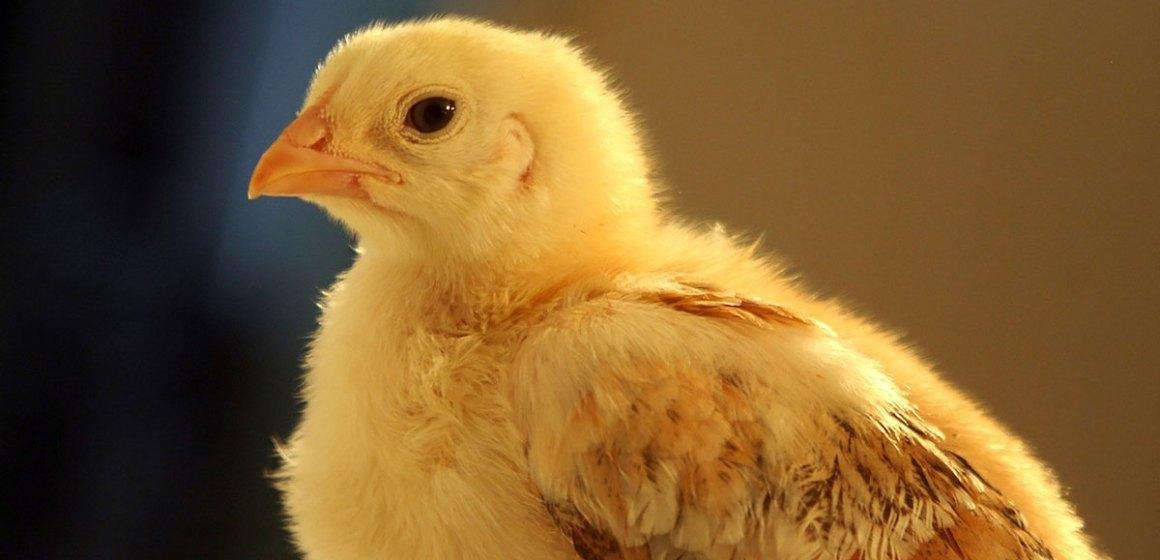 Cursos avícolas de verano se realizarán en UNALM