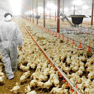 Avicultor caminando en el galpón de pollos.