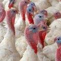 Chile erradicó influenza aviar de Valparaíso