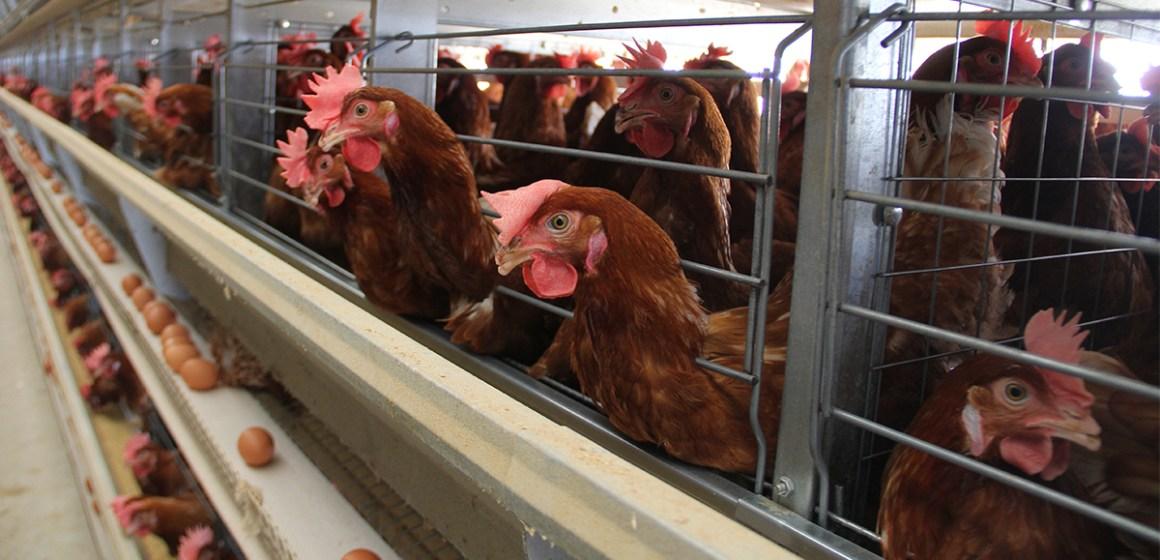 Beneficio económico de las fuentes de fósforo en gallinas ponedoras