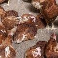 Alimentación de la gallina ponedora