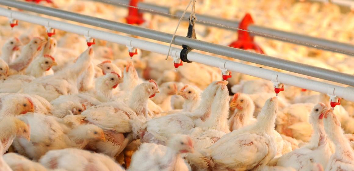 Estados Unidos: crece la demanda y producción del pollo