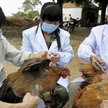China reporta brote de influenza aviar cerca a zona del coronavirus