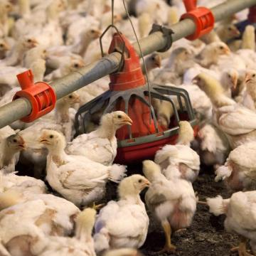Increíble: por coronavirus, China sacrifica más de 100 millones de pollos