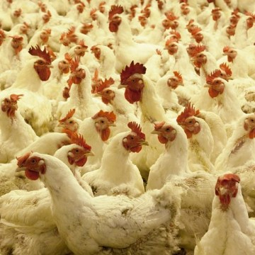 Brasil: exportaciones de pollo aumentan