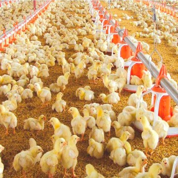 República Dominicana: prohíben importación de pollos para apoyar producción