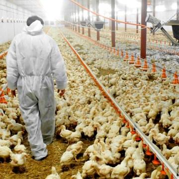 Estudio afirma que coronavirus porcino afecta a las aves