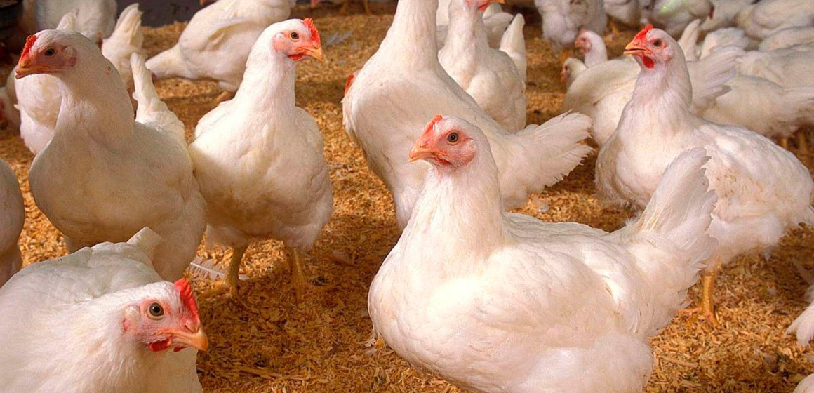 Vietnam: carne de pollo procesada podrá ser exportada a Rusia