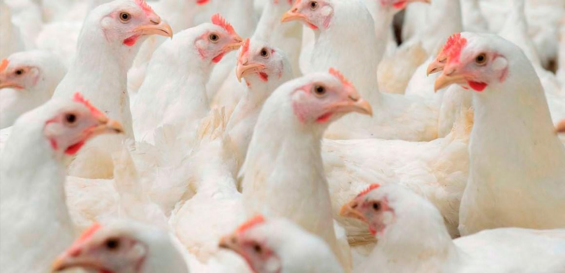 COVID-19: las reproductoras se sumarán a las relaciones comerciales avícolas entre EE. UU. y China