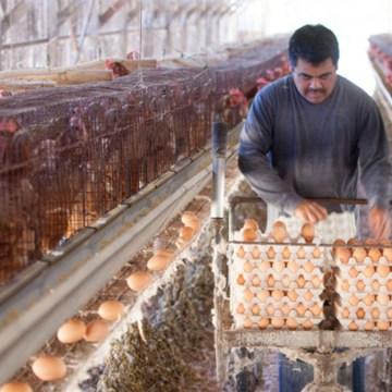 COVID-19: falsa información provoca pérdidas de 1.5 millones de dólares diarios a la avicultura de India