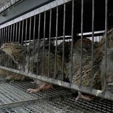 Filipinas: detectan brote de influenza aviar H5N6 en granja de codornices