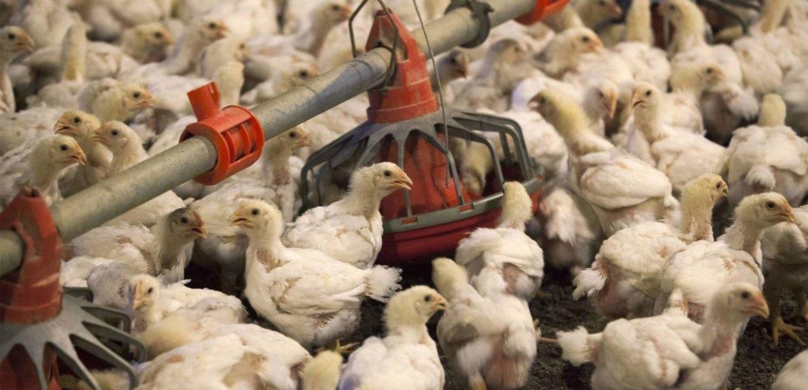 COVID-19: China impulsará la recuperación de su avicultura
