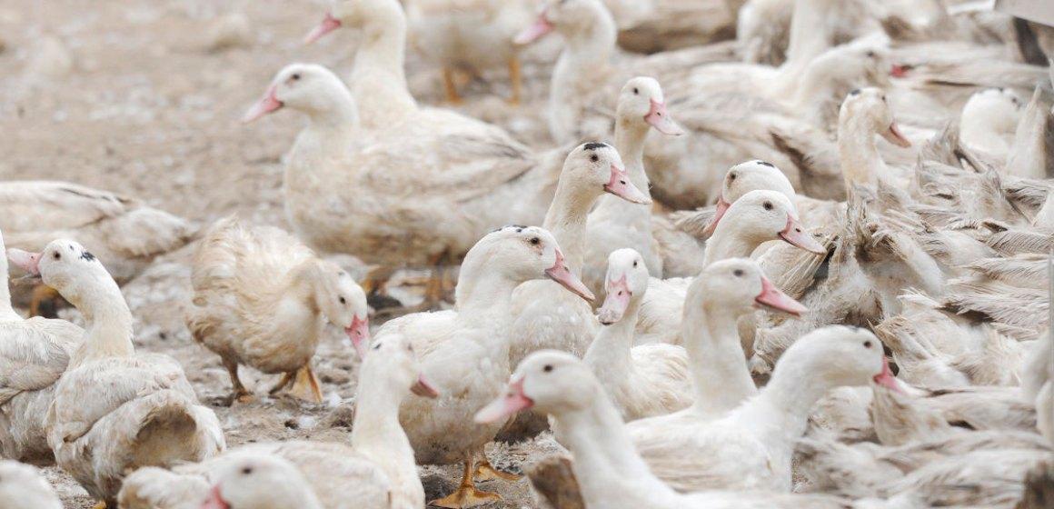 Influenza aviar H5N8 regresó a Bulgaria