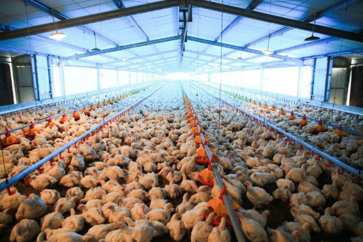 nota pollos 2 texto