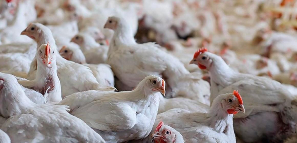 COVID-19: Rabobank afirma que ve modificaciones en el mercado avícola mundial por Pandemia