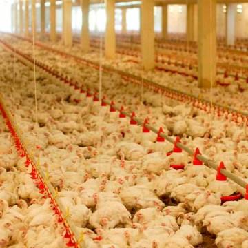 Irak y Singapur levantan restricciones a las exportaciones avícolas de Ucrania