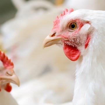 Colombia: avicultores ajustarían oferta del pollo por COVID-19