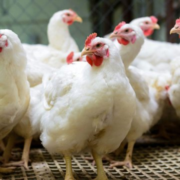 España: sector avícola perdería 600 millones de euros por el coronavirus