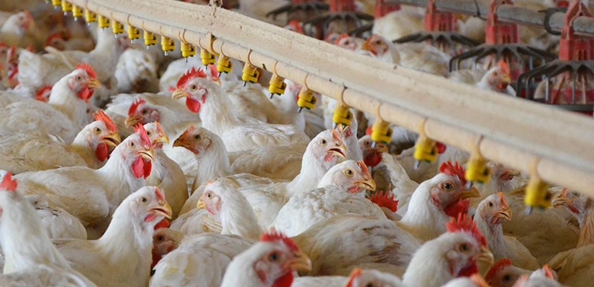 Energía metabolizable y su relación con fuentes de energía en avicultura