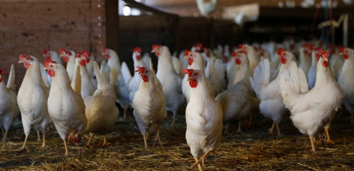 Aviagen desarrolló charla sobre el mejoramiento en la salud intestinal de las aves