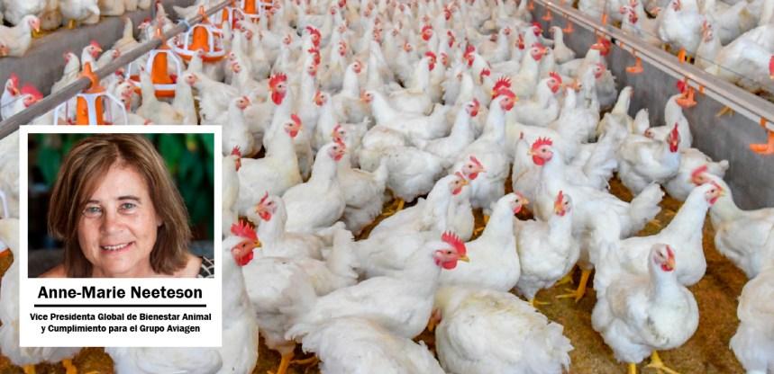 Webinar de Aviagen América Latina Aborda Cómo Fortalecer el Bienestar de las Aves