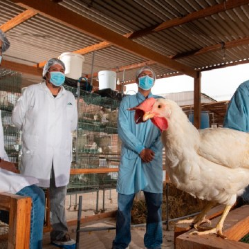 Laboratorios Farvet vacunó a gallina la cual ya está produciendo anticuerpos