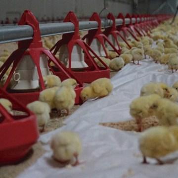 Avicultura en altura: manejo sanitario y productivo (Parte 2)